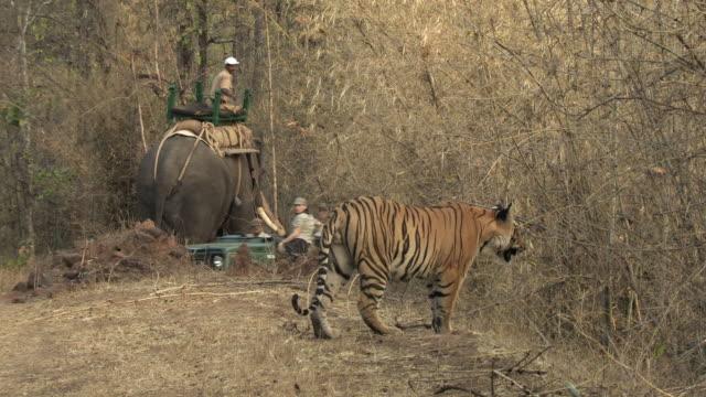 ws bengal tiger (panthera tigris tigris) on forest track, man on elephant and safari vehicle in background / bandhavgarh national park, madha pradesh, india - safari india stock videos and b-roll footage