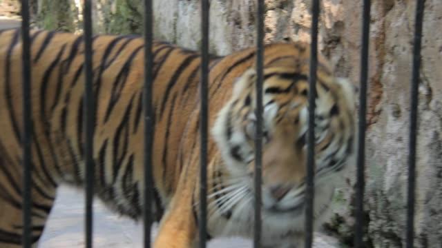 bengal tiger pacing at surabaya zoo indonesia - surabaya stock videos & royalty-free footage