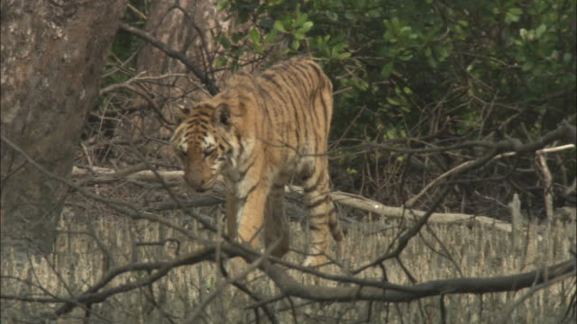 A bengal tiger prowls through a mangrove forest. Available in HD.