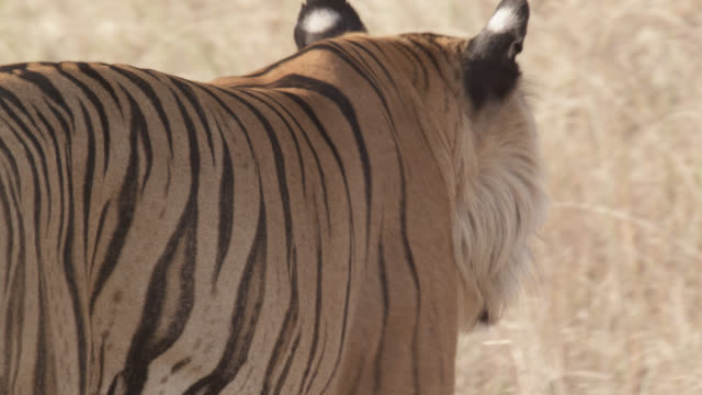 bengal tiger (panthera tigris) prowls through grass, bandhavgarh, india - bedrohte tierart stock-videos und b-roll-filmmaterial