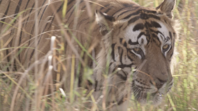 Bengal tiger (Panthera tigris) prowls through grass, Bandhavgarh, India
