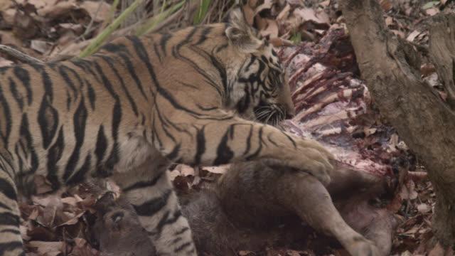 Bengal tiger (Panthera tigris) pulls at sambar deer carcass, Bandhavgarh, India