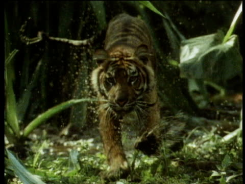 Bengal tiger runs through marshes towards camera and splashes into river.