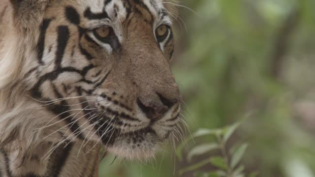 bengal tiger (panthera tigris) shakes its head in forest, bandhavgarh, india - bandhavgarh national park stock videos and b-roll footage
