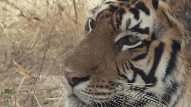 ecu bengal tiger (panthera tigris tigris) sitting in grass / bandhavgarh tiger reserve, madhya pradesh, india - morrhår bildbanksvideor och videomaterial från bakom kulisserna