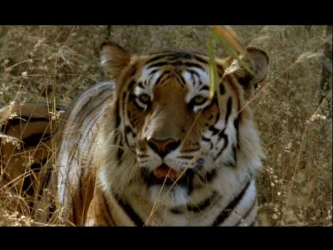 vídeos y material grabado en eventos de stock de cu bengal tiger sitting in grass, panting and yawning, bannerghata np, india - patrones de colores