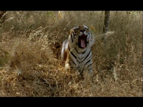 vídeos y material grabado en eventos de stock de ms bengal tiger sitting in grass, yawning, bannerghata np, india - patrones de colores