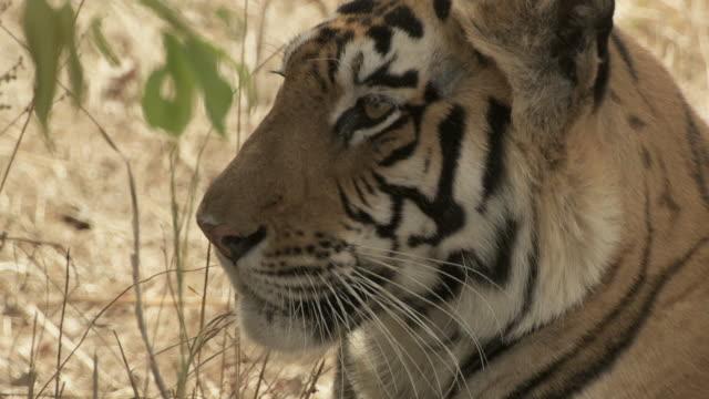 ecu bengal tiger (panthera tigris tigris) sitting on grass / bandhavgarh tiger reserve, madhya pradesh, india - morrhår bildbanksvideor och videomaterial från bakom kulisserna