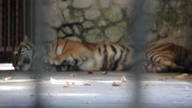 bengal tiger sleeping at surabaya zoo indonesia - surabaya stock videos & royalty-free footage