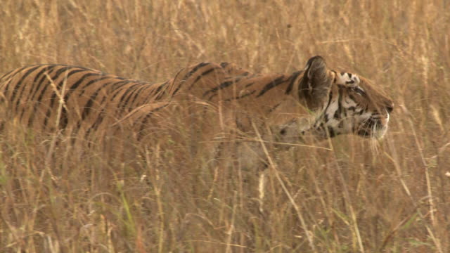 MS PAN Bengal tiger (Panthera tigris tigris) stalking through long grass in Bandhavgarh National Park / Madha Pradesh, India