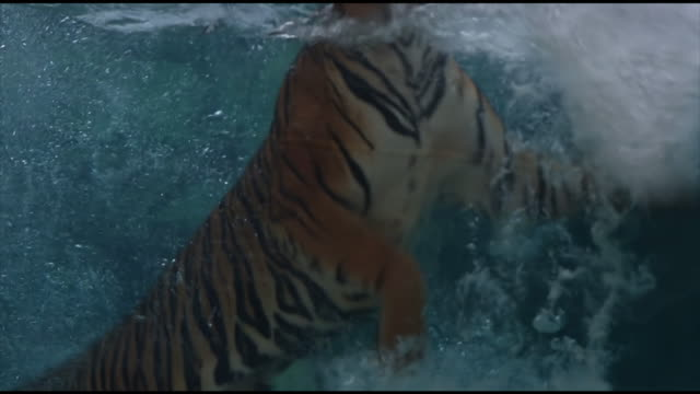 bengal tiger swimming - tiger stock videos & royalty-free footage
