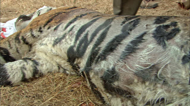 bengal tiger translocation - forest officers moving into enclosed area and caught the tiger/ measuring its body parts and loading into large crate/ forest officiers interview. - interview event stock videos & royalty-free footage