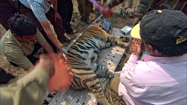 bengal tiger translocation - forest officers preparing injection/ safari on elephant back and going to catch the tiger/ cleaning the tiger/ loading into large crate - report document stock videos & royalty-free footage