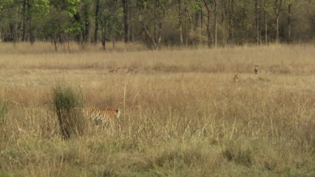WS PAN Bengal tiger (Panthera tigris tigris) walking in tall grass, watching chital deer (Axis axis) herd / Bandhavgarh National Park, Madha Pradesh, India