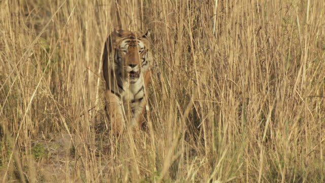 ms bengal tiger (panthera tigris tigris) walking through long grass in bandhavgarh national park / madha pradesh, india - approaching stock videos & royalty-free footage