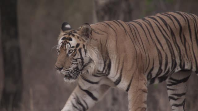 bengal tiger (panthera tigris) walks in forest, bandhavgarh, india - bandhavgarh national park stock videos and b-roll footage