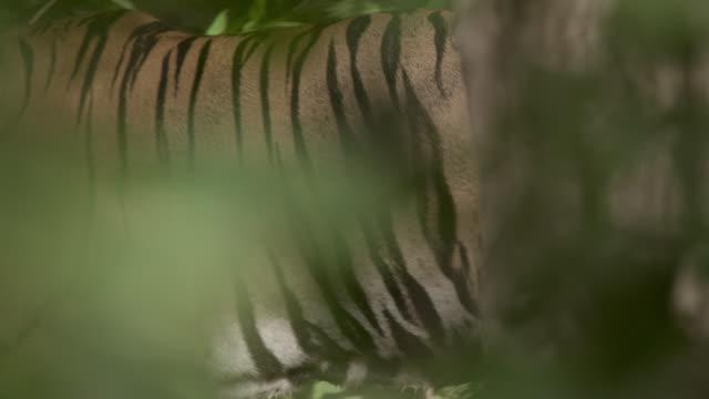 Bengal tiger (Panthera tigris) walks in forest, Bandhavgarh, India