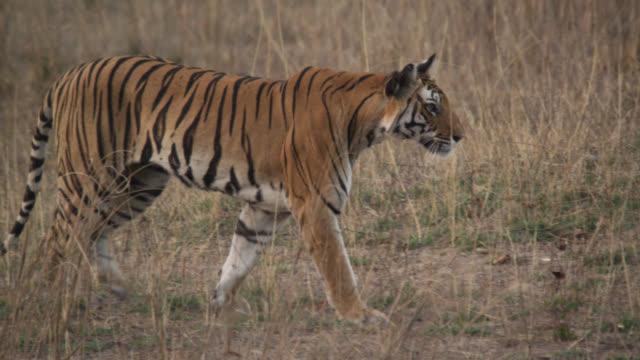 bengal tiger (panthera tigris) walks over grassland, bandhavgarh, india - tiger stock videos & royalty-free footage