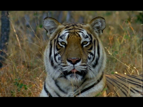 cu bengal tiger yawning, bannerghata np, india - animal head stock videos & royalty-free footage
