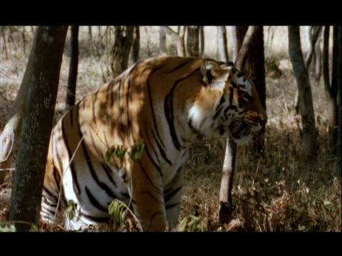 vídeos y material grabado en eventos de stock de mcu bengal tiger yawning, bannerghata np, india - patrones de colores
