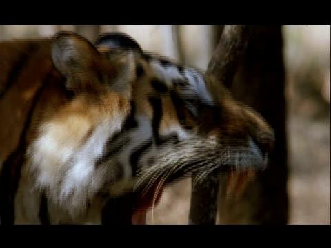 vídeos y material grabado en eventos de stock de cu bengal tiger yawning, in profile, bannerghata np, india - patrones de colores