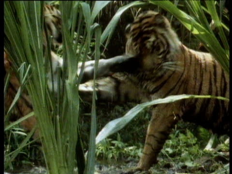 Bengal tigers play fight in jungle.