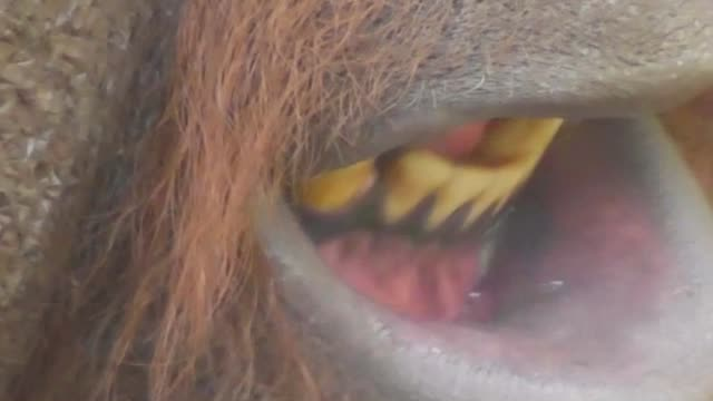benji, the large borneo orangutan male from the dudley zoo in the west midlands, england enjoys to chew, but what can you do if you haven't got any... - west midlands stock videos & royalty-free footage