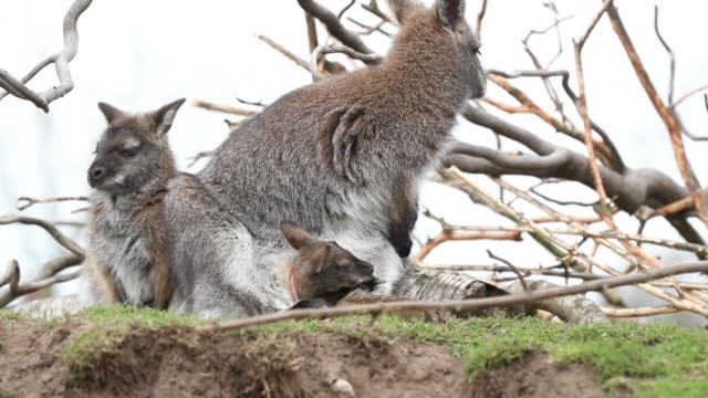 vídeos de stock, filmes e b-roll de a bennett's wallaby joey emerges from its mothers' pouch at yorkshire wildlife park in doncaster where the park remains open to the public even a... - marsupial