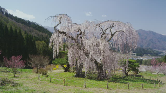 benten's weeping cherry tree in bloom - nagano prefecture stock videos and b-roll footage