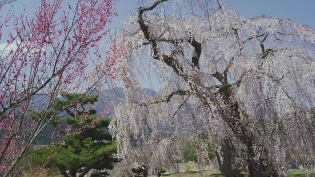 Benten's weeping cherry tree in bloom