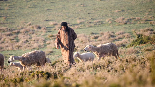 berber shepherd in traditional clothing with his herd of sheep and goats/ souss-massa national park - shepherd stock videos & royalty-free footage