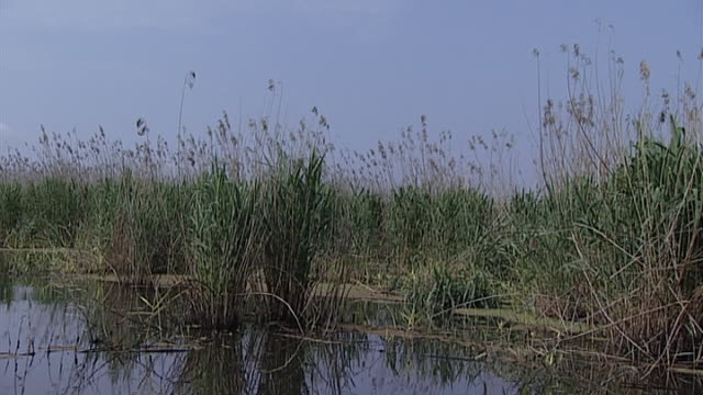 berdi reeds. view of reeds growing in a swamp. this reed was used by the ancient peoples of sumer and elam to build their shrines. - river stock videos & royalty-free footage