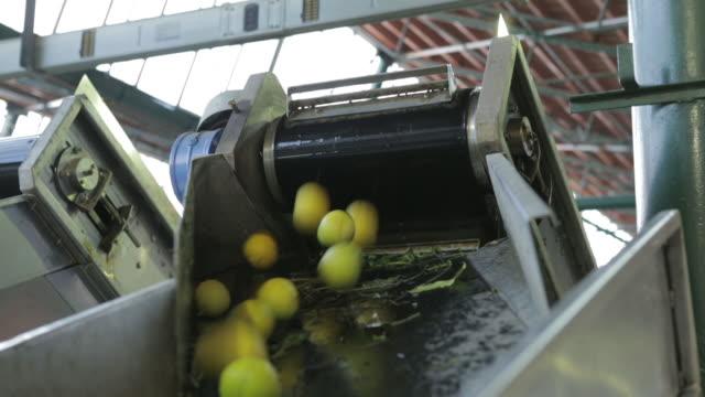 Bergamot fruit falling from conveyor belt at factory
