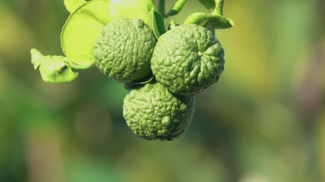 木の上のベルガモットの果実 - ベルガモット点の映像素材/bロール