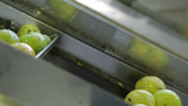 Bergamot fruit on conveyor belt at factory
