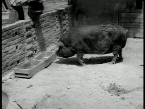 berkshire hogs in pen one eating out of trough . piglette being given injection colera innoculation. male arm holding piglette w/ mud on head - trough stock videos & royalty-free footage