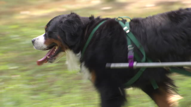 ms ts bernese mountain dog pulling small cart on grassy area / washington, district of columbia, united states - pulling stock videos & royalty-free footage
