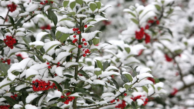 A berried Holly tree in snow Ambleside, Cumbria, U