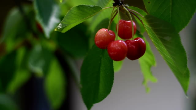 berries cherries on a branch - macedonia country stock videos and b-roll footage