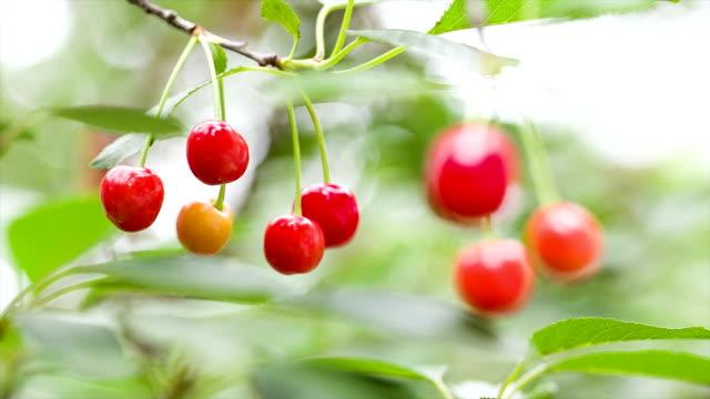 Berries of ripe cherries on the branch.