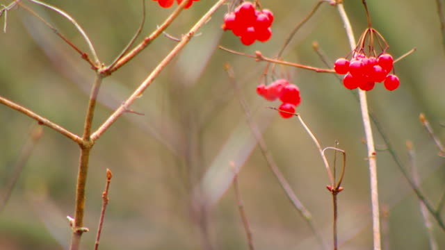 berries on a dried twig, close up and rack focus - twig stock videos & royalty-free footage
