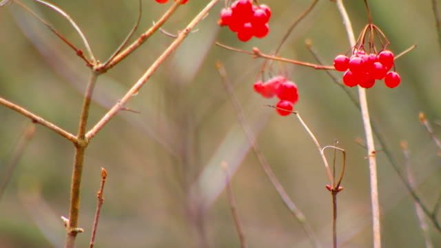 berries on a dried twig, close up - twig stock videos & royalty-free footage