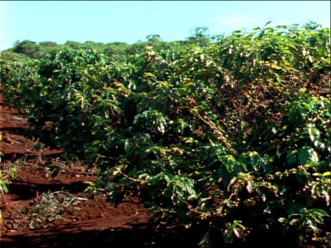 berries ripen on rows of plants. - 園芸学点の映像素材/bロール