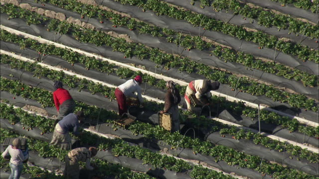 aerial zo berry farm workers picking and tending strawberries, purple sheeted greenhouses in background, stellenbosch, western cape, south africa - stellenbosch 個影片檔及 b 捲影像