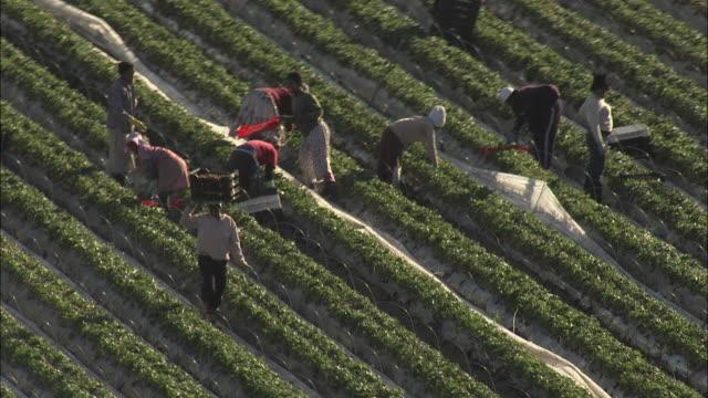aerial berry farm workers picking and tending strawberries, stellenbosch, western cape, south africa - stellenbosch 個影片檔及 b 捲影像