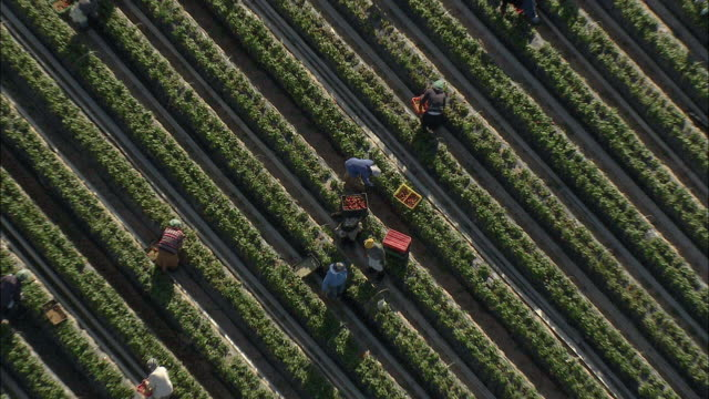 vídeos y material grabado en eventos de stock de aerial zo berry farm workers picking and tending strawberries, stellenbosch, western cape, south africa - zoom out