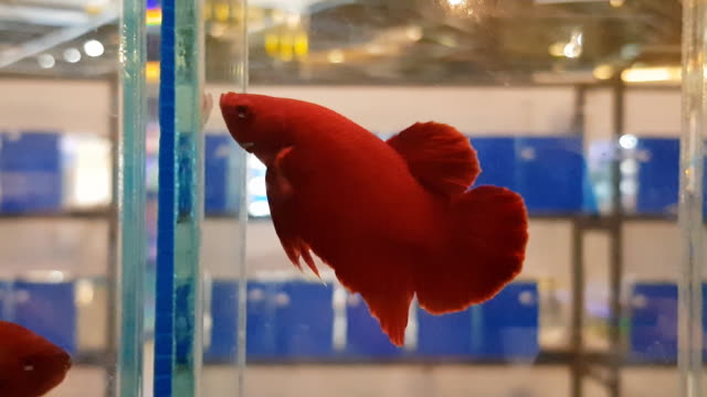 beta fish tail swim in water tank background ,siamese fighting fish - pampered pets stock videos and b-roll footage