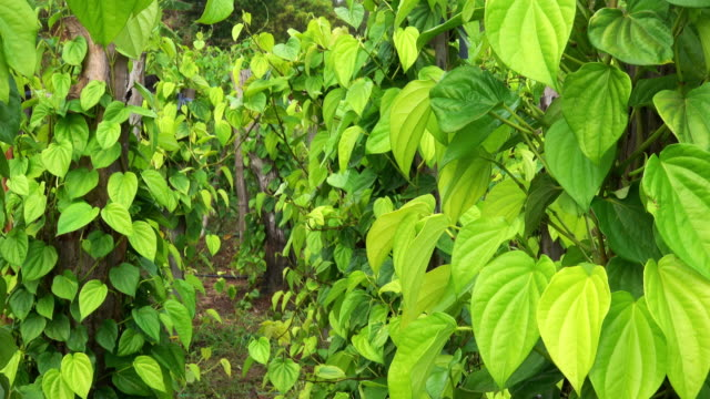 Betel Leaves At Plantation