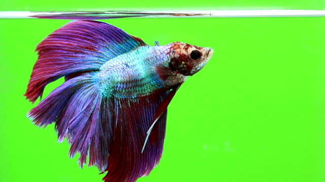 betta fish, siamese fighting fishgreen screen background - siamese fighting fish stock videos and b-roll footage
