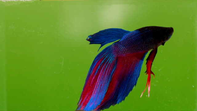 Betta splendens, Siames Fighting Fish en incrustation vert.